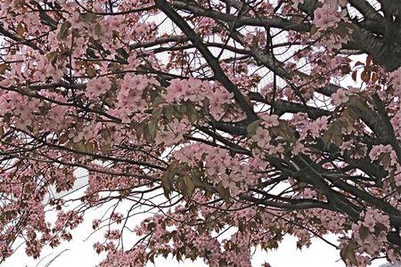 IMG_0638 札幌 桜.jpg