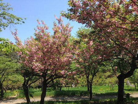 IMG_0654 北海道神宮 桜.jpg