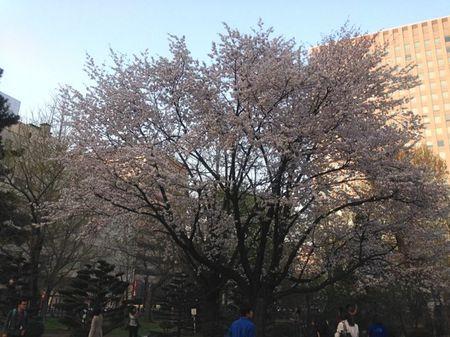 IMG_1362 道庁 桜.jpg